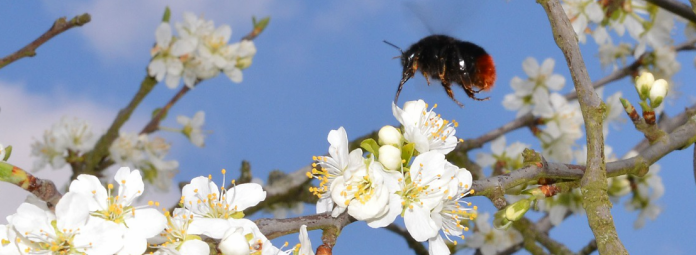 bee and tree blossom